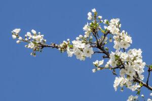 fleur arbre au printemps
